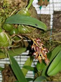 Bulbophyllum microtepalum [aff. tricornis??]