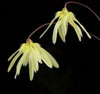 Bulbophyllum purpurescens 'Peninsula'