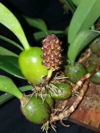 Bulbophyllum crassipes f. flavum