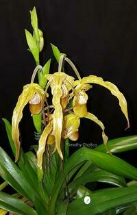 Phragmipedium Mount Fallu