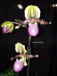 Paphiopedilum victoria-regina (chamberlainianum)