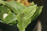 Goodyera virdiflora