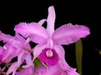Cattleya lawrenceana 'Pink Tower' x self