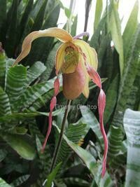 Phragmipedium Umbriel