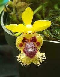 Gastrochilus retrocalla [syn. Haraella]