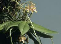 Grosordya appendiculata