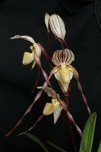 Paphiopedilum philippenense ('#44' x 'Hilo Twister' )