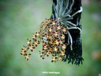 Chilochista lunifera