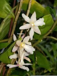 Dendrobium jiewhoei [Dendrobium calcariferum]