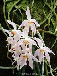 Paraphalaenopsis laycockii