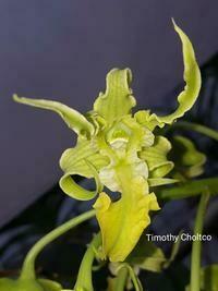 Dendrobium spectabile f. aureum x sib