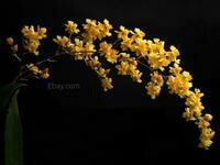 Oncidium Twinkle 'Yellow'