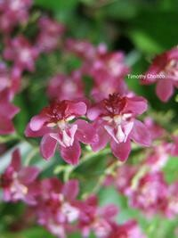 Oncidium Twinkle 'Red'