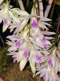 Dendrobium amythestoglossum