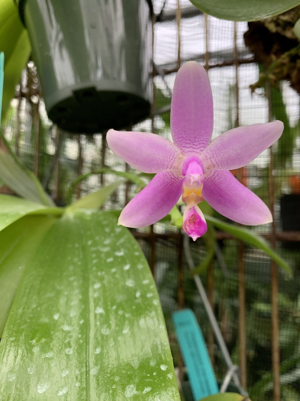 Phalaenopsis mentawaiensis