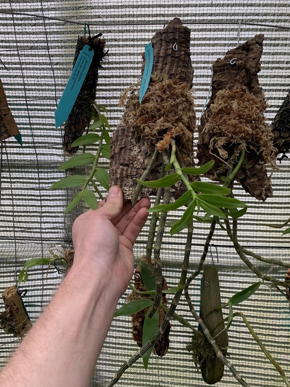 Dendrobium primulinum (Yellow That Form)