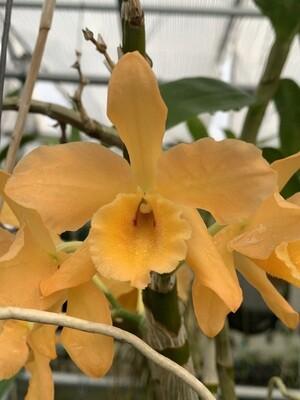Dendrobium Gold Star x Dendrobium mohlianum