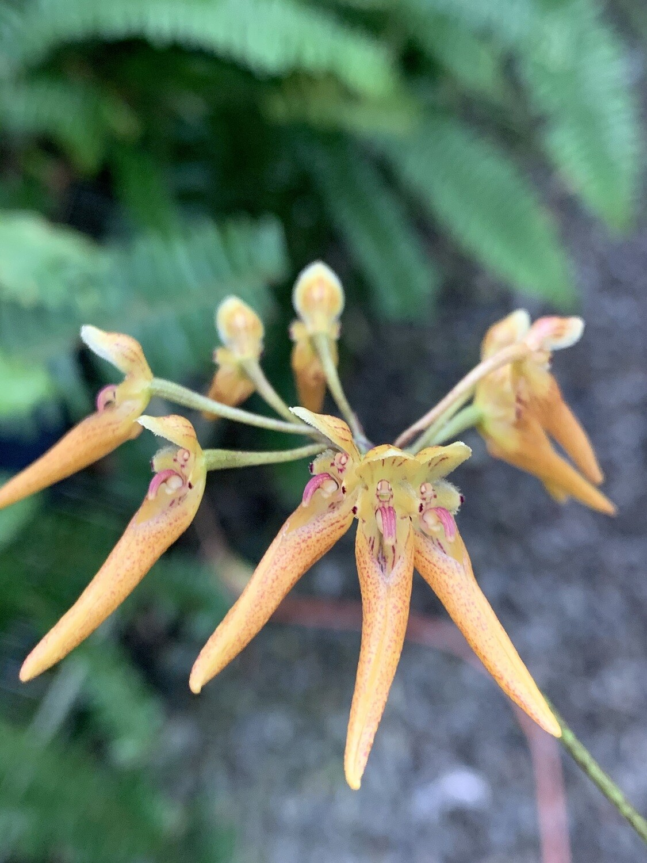 Bulbophyllum helenae
