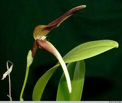 Bulbophyllum antenniferum
