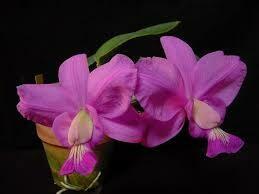 Cattleya Brazilian Jewel