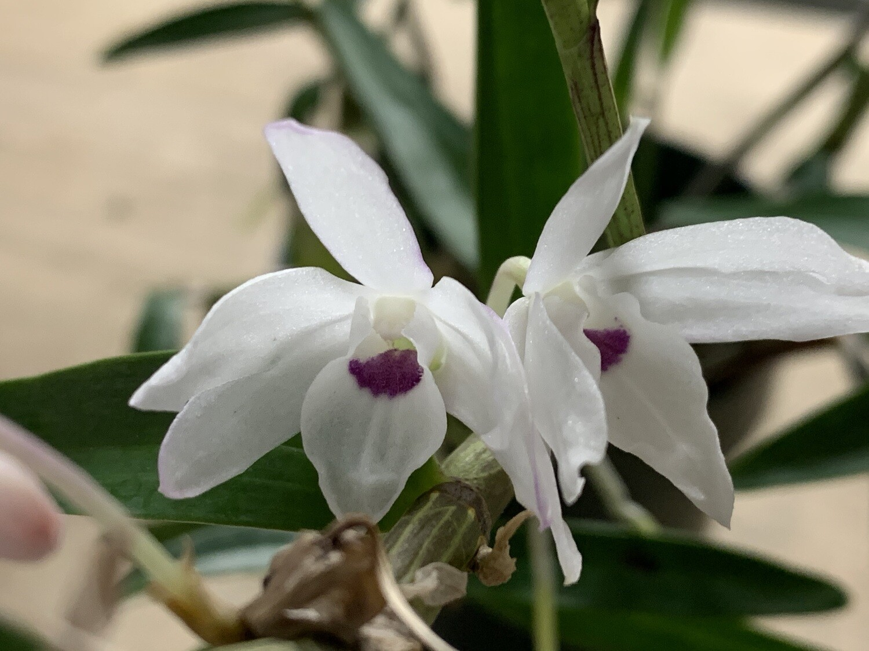 Dendrobium moniliforme var. Shuento