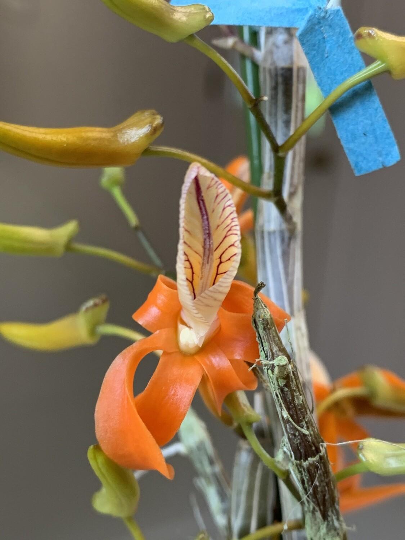 Dendrobium unicum x sib