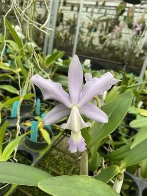Cattleya Heathii