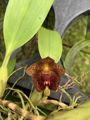 bulbophyllum glebulosum