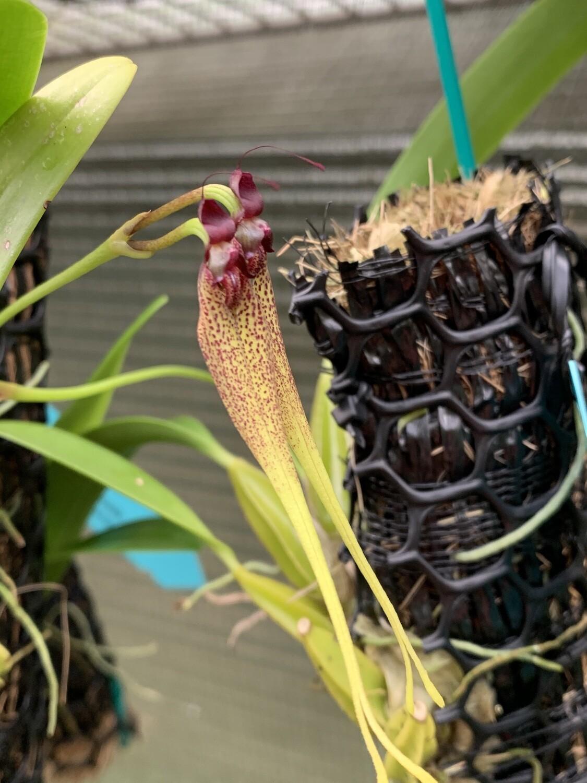 Bulbophyllum biflorum 'Red'