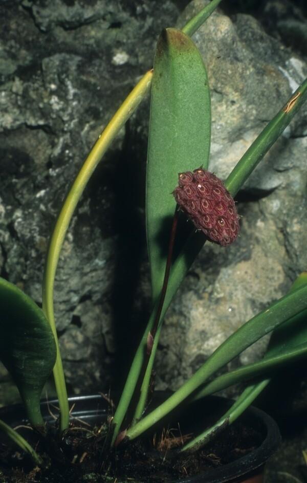 Bulbophyllum repens