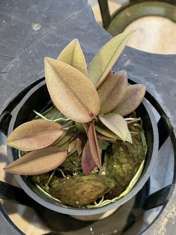 Acianthera prolifera x sib