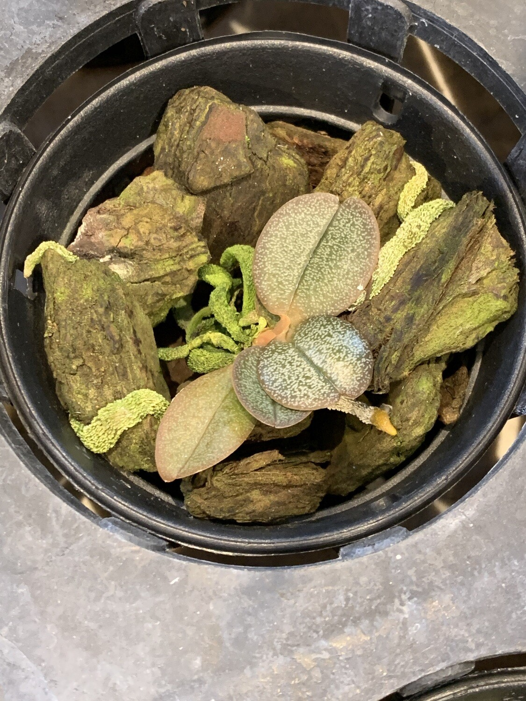 Angraecum curnowianum x sib