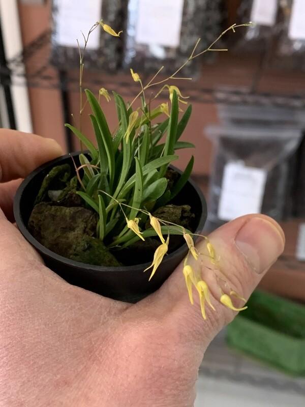 Acianthera boliviana x sib