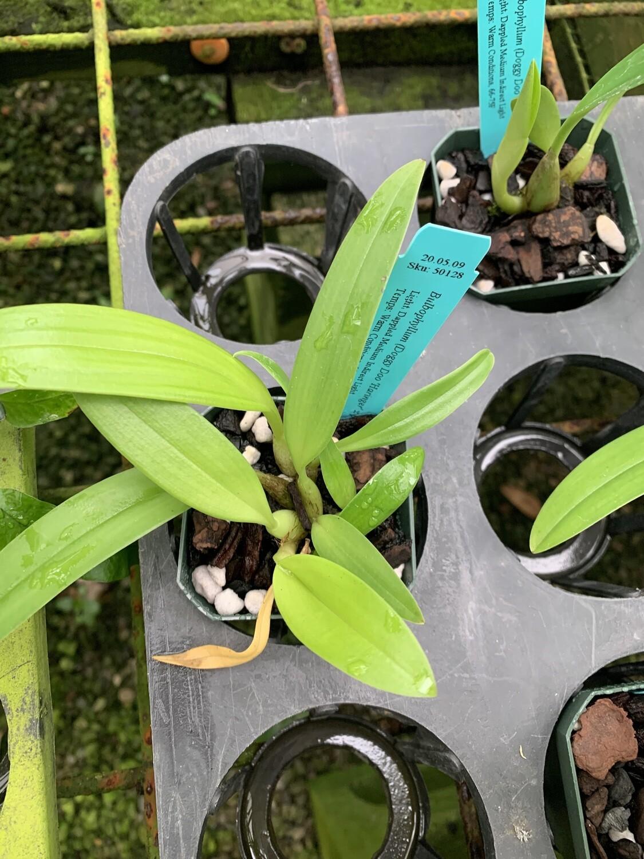 Bulbophyllum (Doggy Doo 'Harbinger' x pteroglossum)