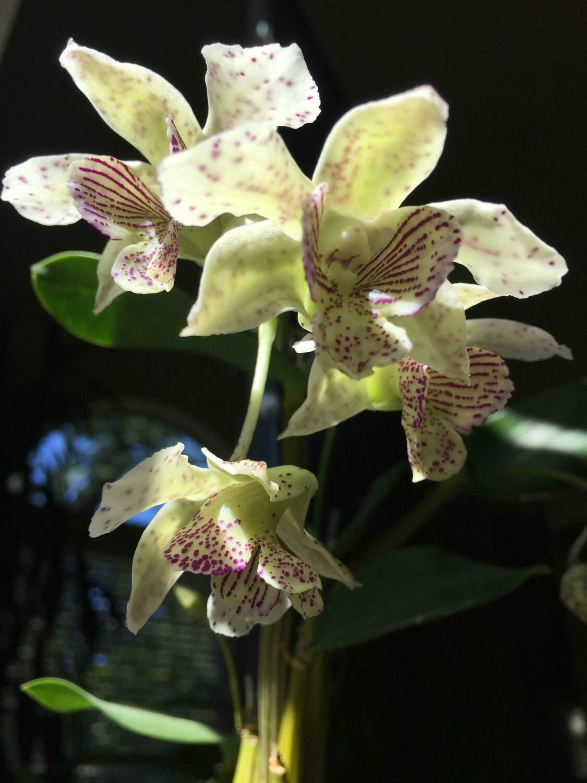 Dendrobium Royal Chip