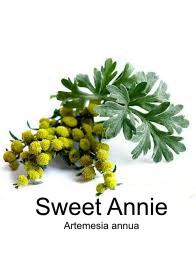 Sweet annie seed