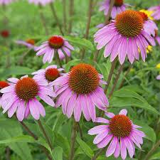 Echinacea purpurea seed