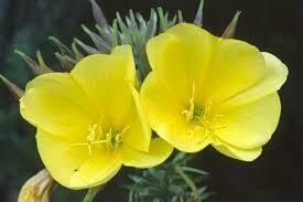 Evening primrose seed