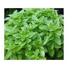 Basil - Greek