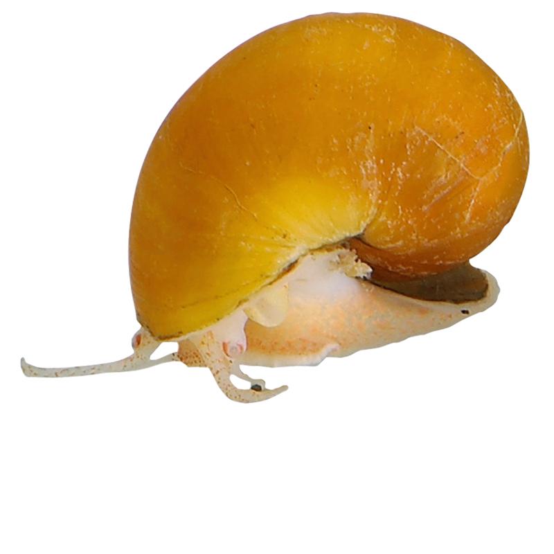 Golden Mystery Snail