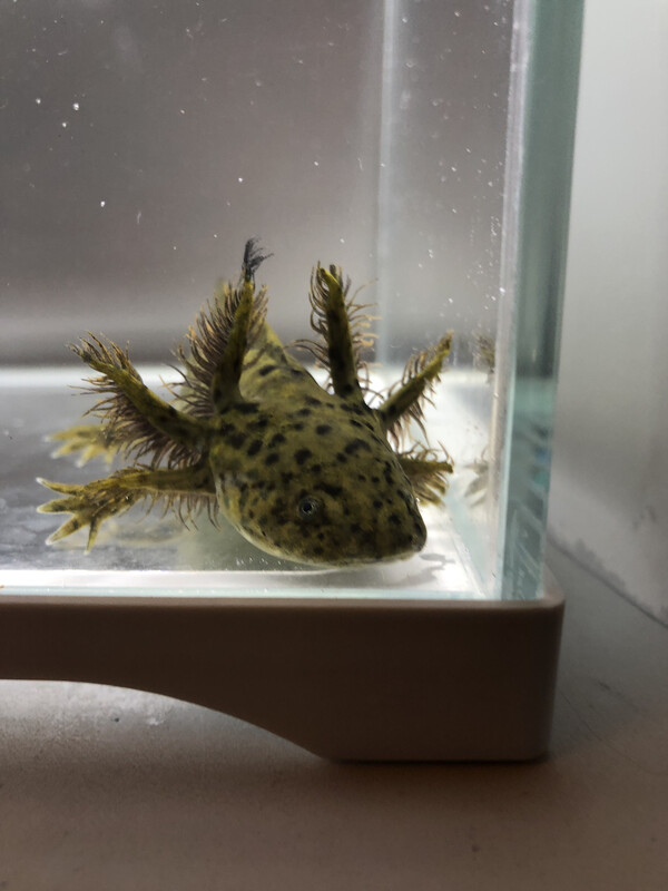 Wild Type Axolotl (Stub Club Graduate)