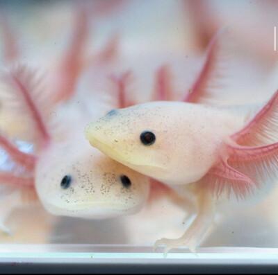 Leucistic Axolotl