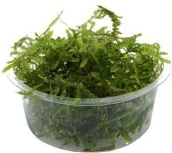2oz Portion of Java Moss