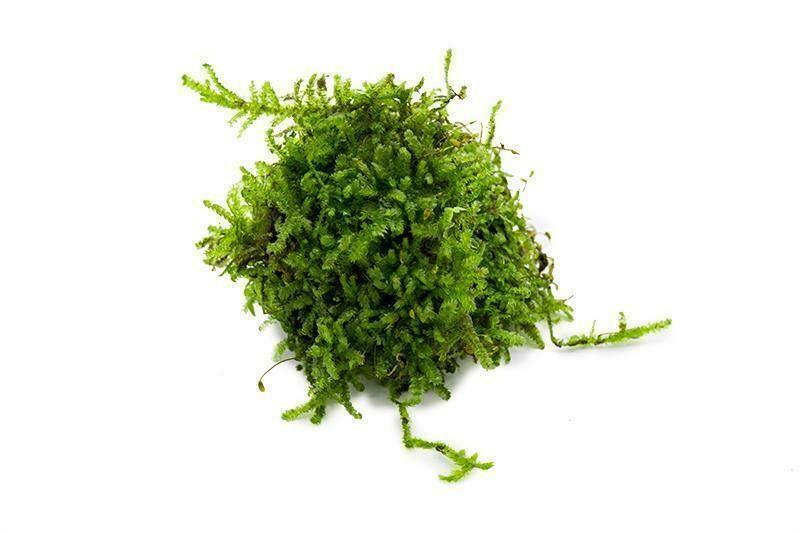 2oz Portion of Christmas Moss
