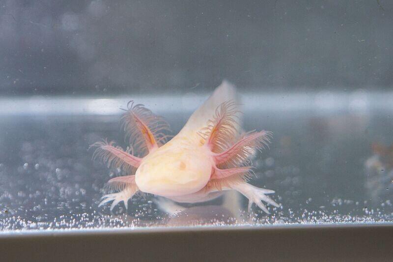 Pink Albino Axolotl