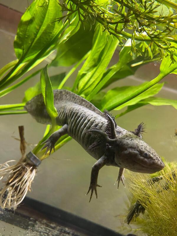 10 Month Old Presumed Female Spotted Melanoid Axolotl