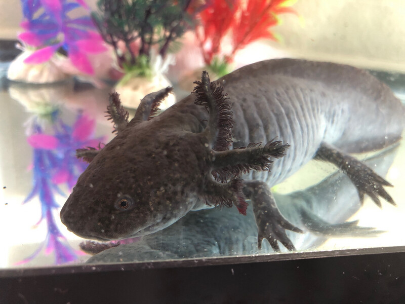 3 Year Old Adult Female Wildtype Axolotl