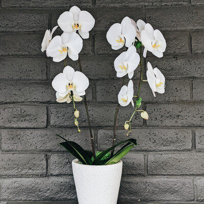 DOUBLE PHALAENOPSIS ORCHID: WHITE