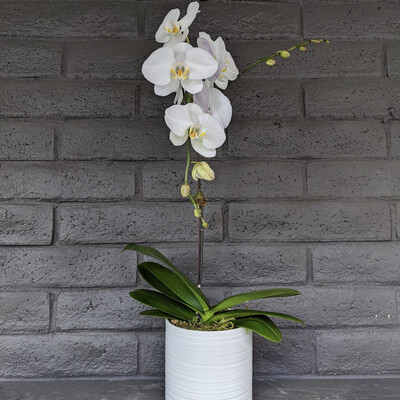 SINGLE PHALAENOPSIS ORCHID: WHITE