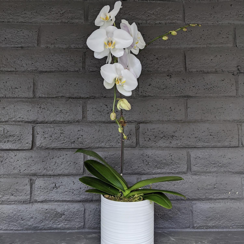 PHALAENOPSIS ORCHID: WHITE
